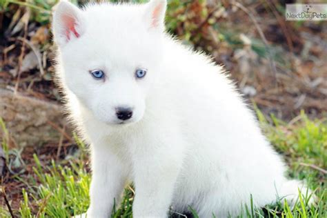 miniature siberian husky puppies for sale miniature siberian husky puppies orlando quotes