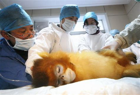 Snubs In Hospital by Golden Monkey Gets Induced Abortion
