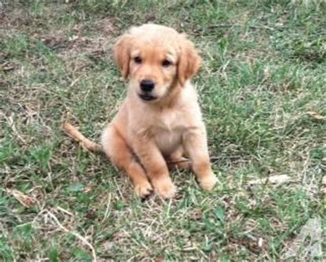 9 week golden retriever puppy akc golden retriever puppies 9 weeks for sale in luray virginia classified