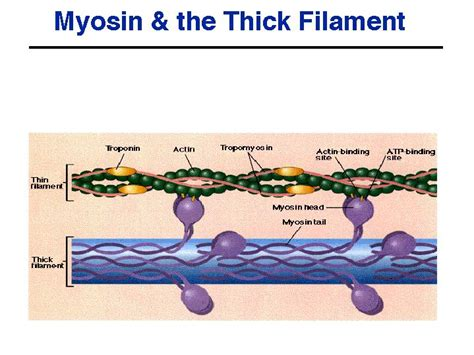 5 proteins of myofilaments printable flash cards