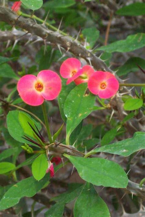 poisonous spring plant euphorbia milii the poison diaries