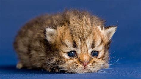 ab wann werden katzen rollig der babykatze zum stubentiger entwicklung der katze