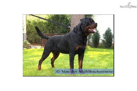 rottweiler breeders in indiana rottweiler puppy for sale near indianapolis indiana 65481ad8 e3a1