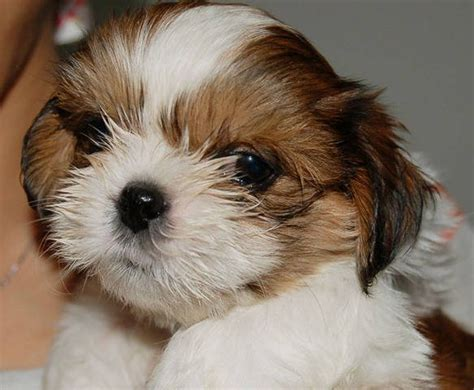 shih tzu for adoption shih tzu puppies sale breeds picture