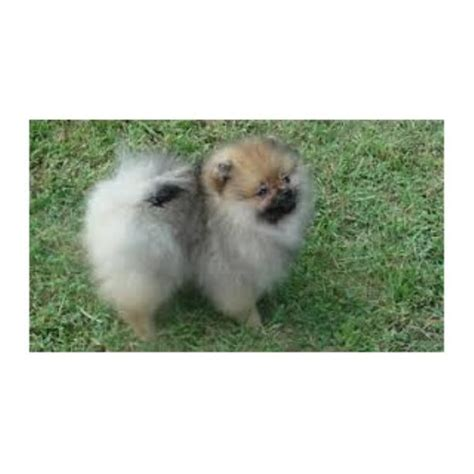 pomeranian adoption san diego pomeranian breeders in california freedoglistings