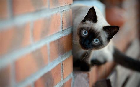 cat wallpaper gallery siamese cat wallpapers hd download