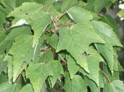 are maple trees poisonous to horses maple tree is poisonous and harmful to horses