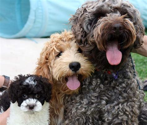 labradoodle puppies rescue gaga labradoodles puppies for sale dogs for adoption family pets