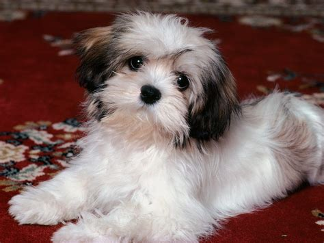 havanese breed of all list of different dogs breeds havanese
