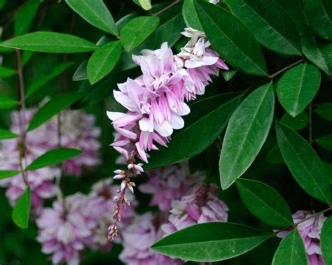 gardensonline indigofera decora