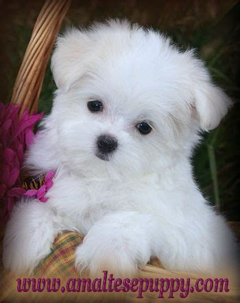 maltese puppies for sale in ny best 25 maltipoo puppies for sale ideas on maltipoo for sale teacup