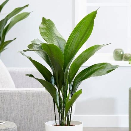 Buy House Plants Custom 60 Names And Pictures Of Common | buy indoor plants by waitrose garden