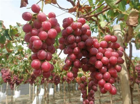 uva da tavola globe vite globe vitis vinifera giardinaggio mobi
