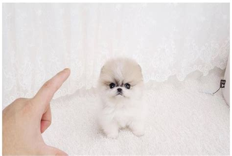 pomeranian price canada 17 best images about teacup pomeranian on coats canada and dubai