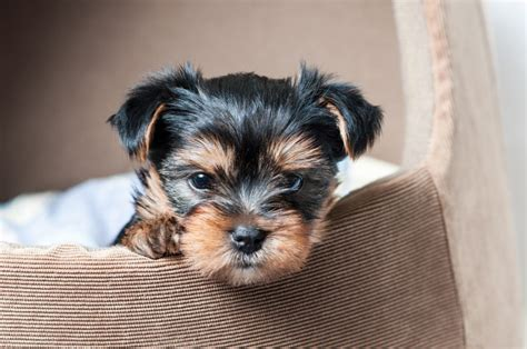 are yorkies with are yorkies hypoallergenic canna pet 174
