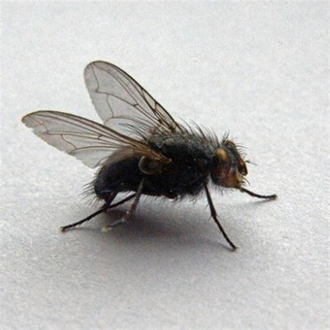 lesser house fly pests www opkill co uk