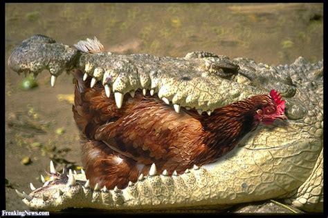 ate chicken alligator a chicken pictures