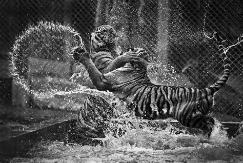 monochrome animals animals monochrome waves tiger wallpapers hd desktop