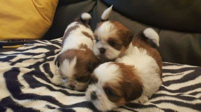 shih tzu breeders nsw shih tzu rescue nsw assistedlivingcares