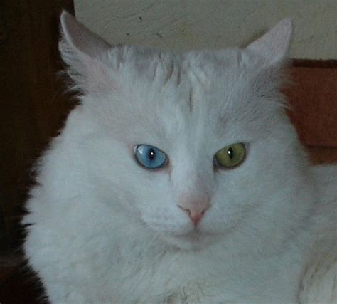 white cat with odd eyes koty tureckie angora psy i koty