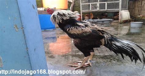 Barbel Kaki Ayam Aduan Agen Indo Jago Cara Melatih Pukulan Ayam Aduan Biar Lebih