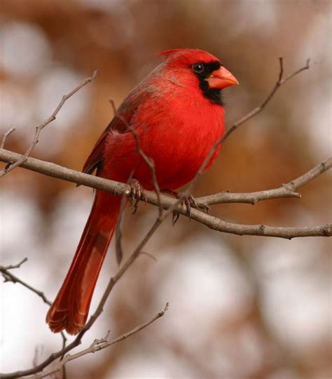 what color are cardinals animals causes of color