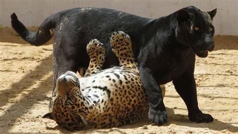 imagenes de un jaguar negro jaguar negro tem filhote pintado na jord 226 nia