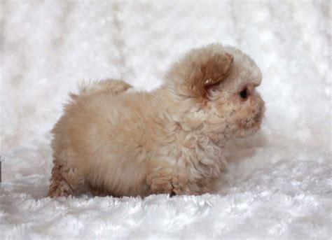 teacup maltipoo puppies for sale micro teacup maltipoo puppy for sale iheartteacups