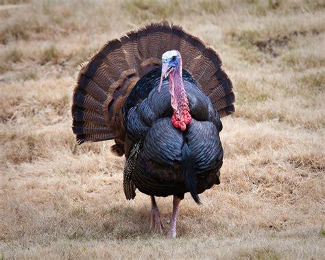 turkey image turkey jpg