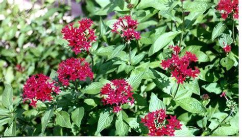 Home Flower by Annuals Penta Jpg