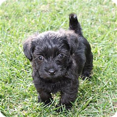 havanese puppies in louisiana adopted puppy la habra heights ca havanese shih tzu mix