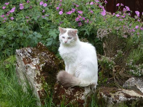 jazz type ragdoll fiv cherche fa sans chat avec jardin au plus t 244 t asso ok