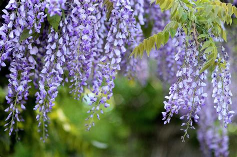 getting wisteria to bloomm how to grow wisteria garden design