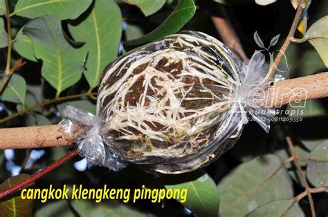 Pisau Untuk Cangkok tips mencangkok tanaman buah leira buah tropis