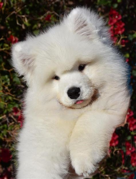 samoyed puppies oregon gallery polar mist samoyeds