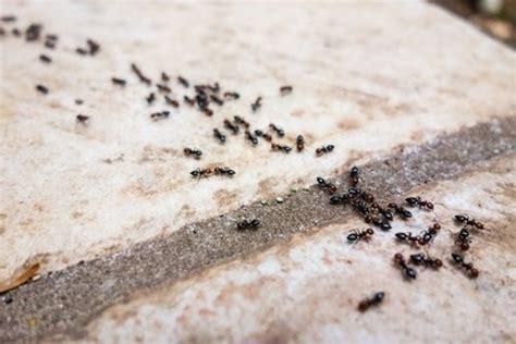 invasione di formiche in cucina scoperto il rimedio per dire addio alle formiche in casa