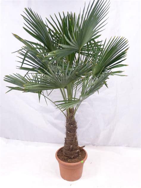 Yucca Palme Drau En 3170 palme f 252 r balkon balkon palme hauptdesign pflegeleichte