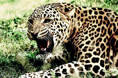 jaguar scientific name panthera onca