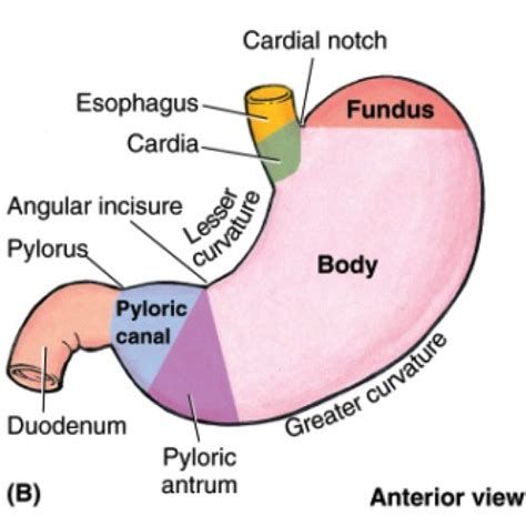a diagram of the stomach thoracic and abdominal anatomy at of colorado