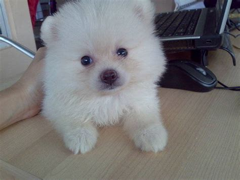 pocket pomeranian for sale pomeranian colors puppies
