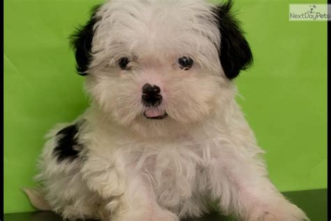 malshipoo puppies for sale meet puppy a maltese puppy for sale for 650 abcpuppy 5 yr warranty