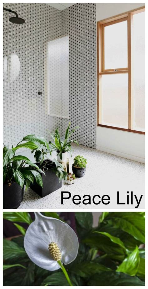 peace lily in bathroom peace lily in bathroom 28 images plants in the