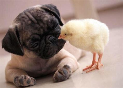 chicken pug pugs n ducks image 2871506 by helena888 on favim