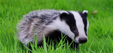 badger cull petition tories expand cruel and pointless badger cull network