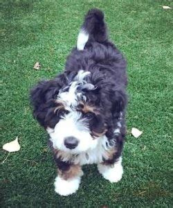 miniature micro mini  australian bernedoodle puppies