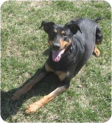 rottweiler doberman pinscher mix buddy adopted port on doberman pinscher rottweiler mix