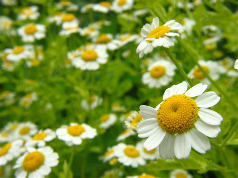 Imagenes De Flores Medicinales | top 12 plantas medicinales 1001 consejos