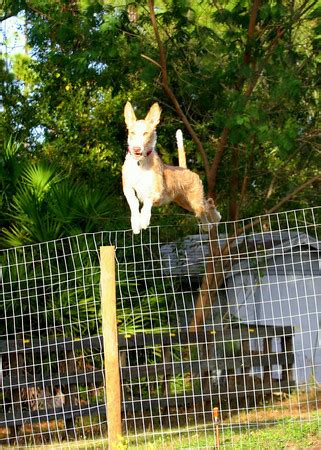 how to keep dog from jumping fence reasons you may have an escaping dog and what to do about
