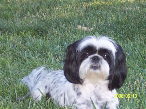 black shih tzu mix shih tzu bichon mix black