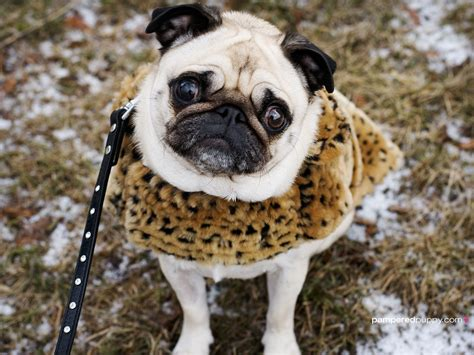 pug winter coats 17 breeds that a relationship with winter barkpost
